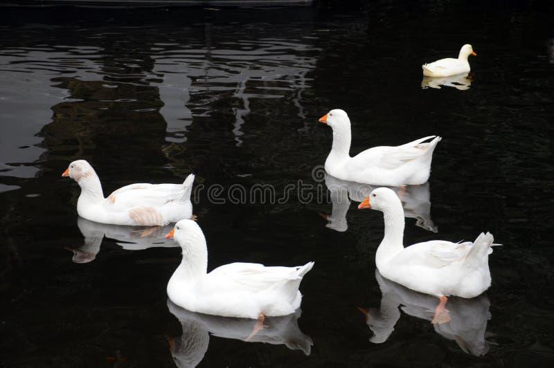 Cinco patos brancos que nadam em um rio na água preta calma imagem de stock royalty free
