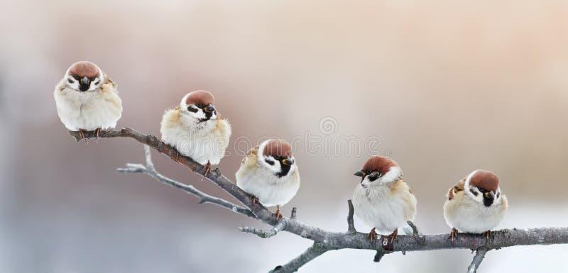 Cinco pequeños gorriones divertidos de los pájaros que se sientan en una rama en el invierno g foto de archivo libre de regalías