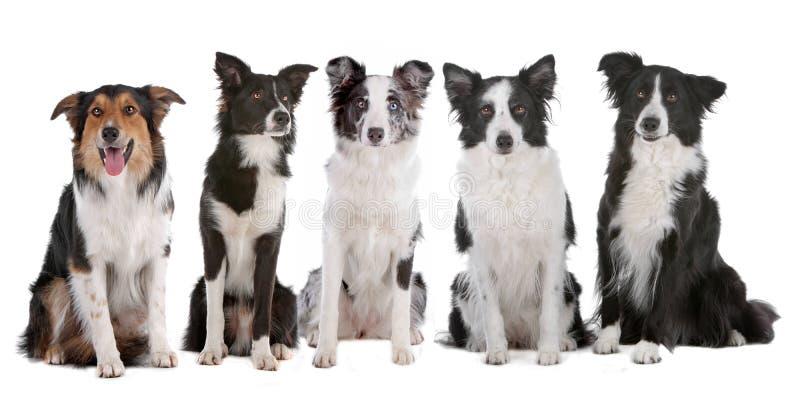 Cinco perros del collie de frontera imagenes de archivo