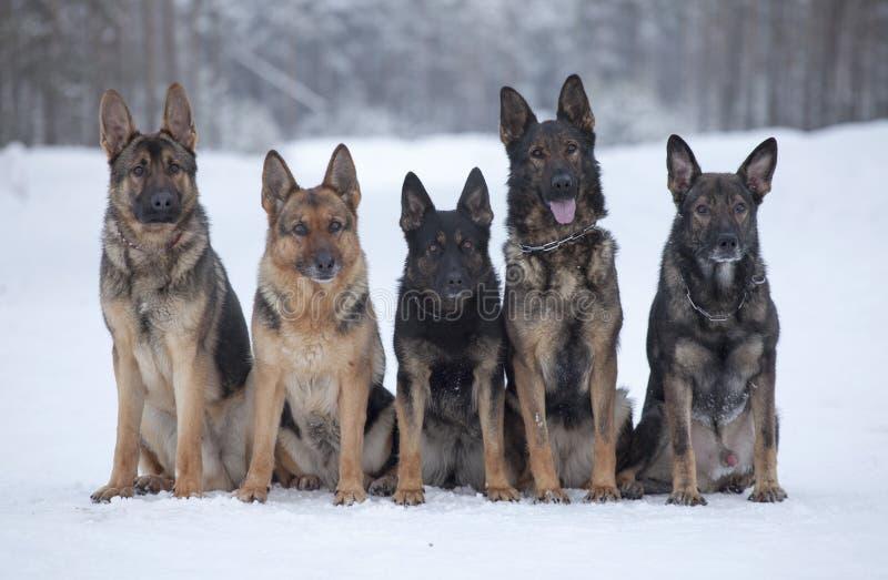 Cinco perros pastor alemanes imagenes de archivo