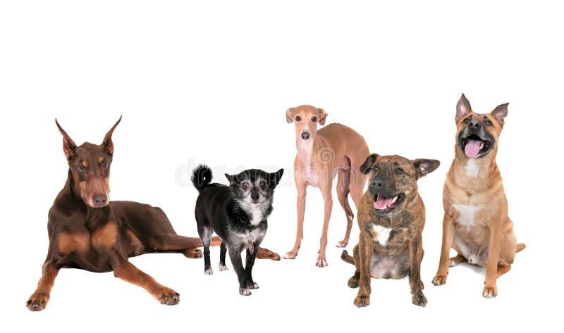 Cinco perros sobre blanco imagen de archivo