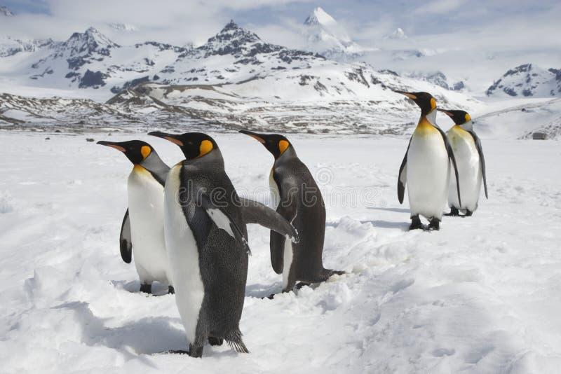 Cinco pingüinos de rey loafing en la nieve imagenes de archivo