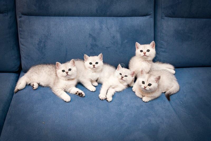Cinco 11 pocos Shorthair gatitos británicos de plata blancos del ns mienten juntos en un sofá y una mirada azules en la cámara foto de archivo