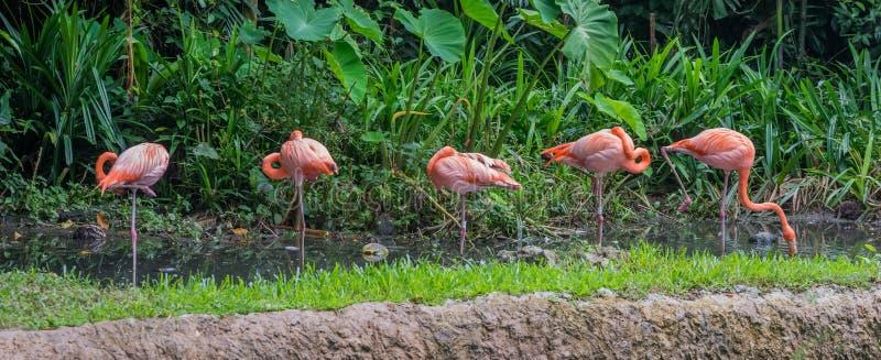 Cinco rosados y flamenco anaranjado que se coloca en el agua poco profunda Singapur imagenes de archivo