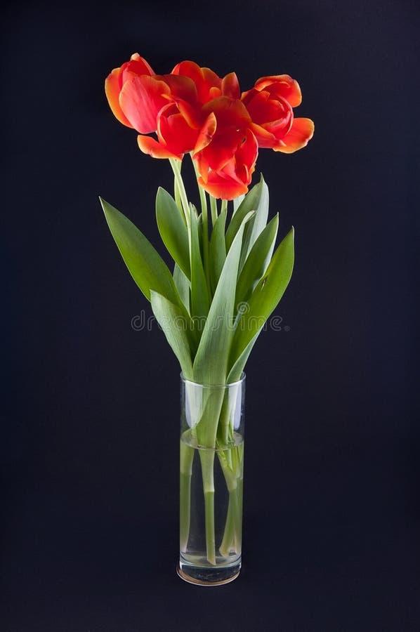 Cinco tulipas vermelhas no vaso transparente no fundo preto fotografia de stock