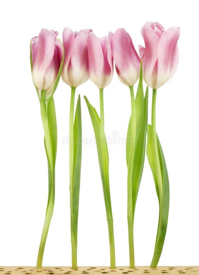 Cinco tulips na cama de madeira imagens de stock royalty free