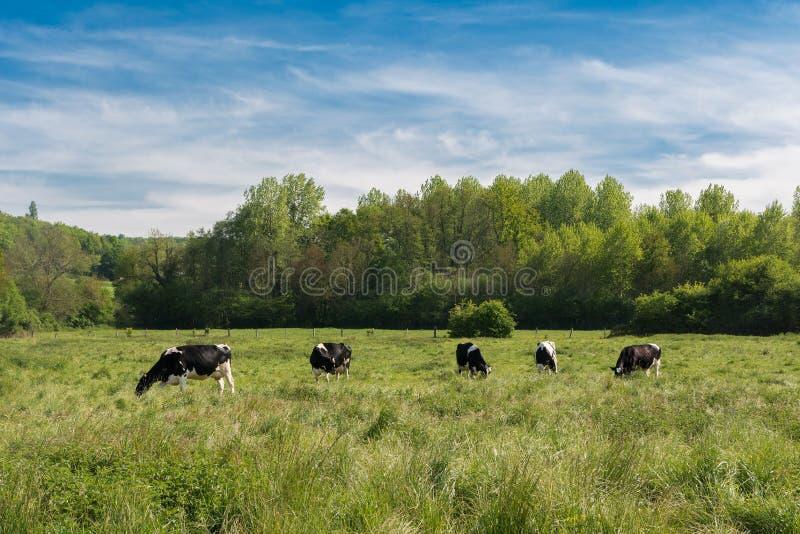 Cinco vacas em um prado do campo francês foto de stock