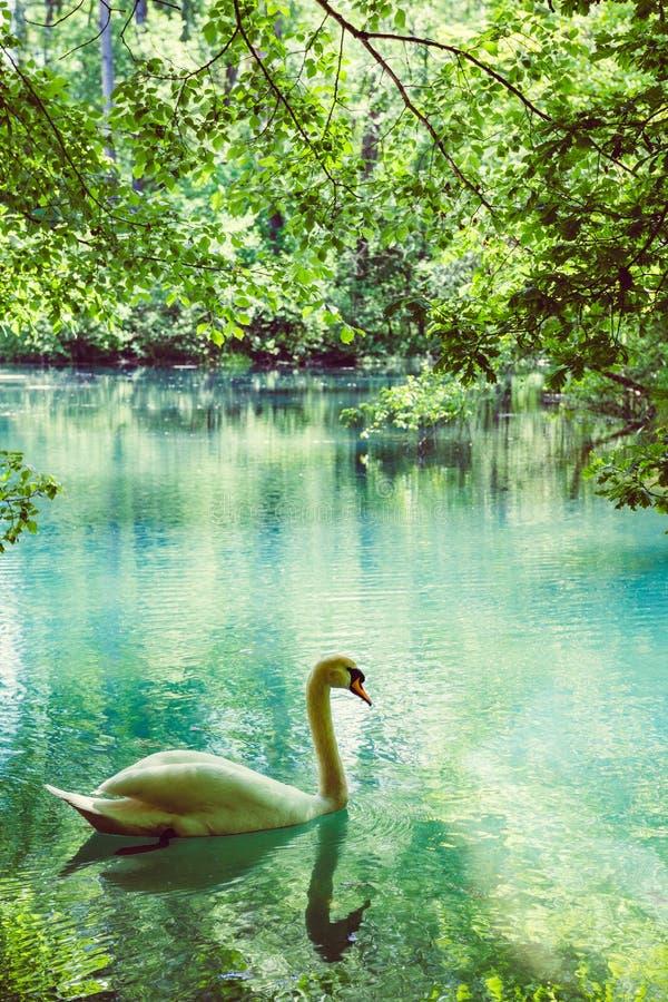 Cinematic color graded vertical image of beautiful elegant swan royalty free stock image