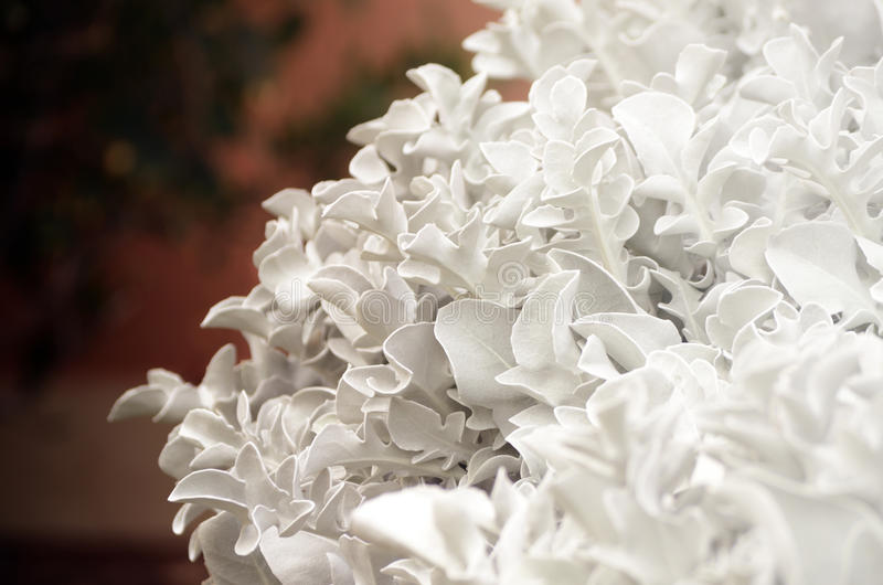 Cineraria με τα ασημένια φύλλα Διακοσμητικό λουλούδι στον κήπο floral Ιστός θερινών προτύπων σελίδων χαιρετισμού καρτών ανασκόπησ στοκ εικόνα με δικαίωμα ελεύθερης χρήσης