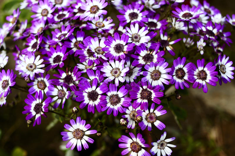 Cineraria 08. Cineraria is the main winter-spring season of flowering plants. The flowers bright, Can be used for flower beds or potted plant arrangement in the stock photo