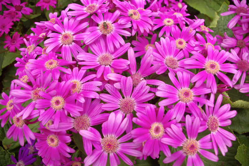 Cineraria. A bunch of cineraria are blooming royalty free stock photo