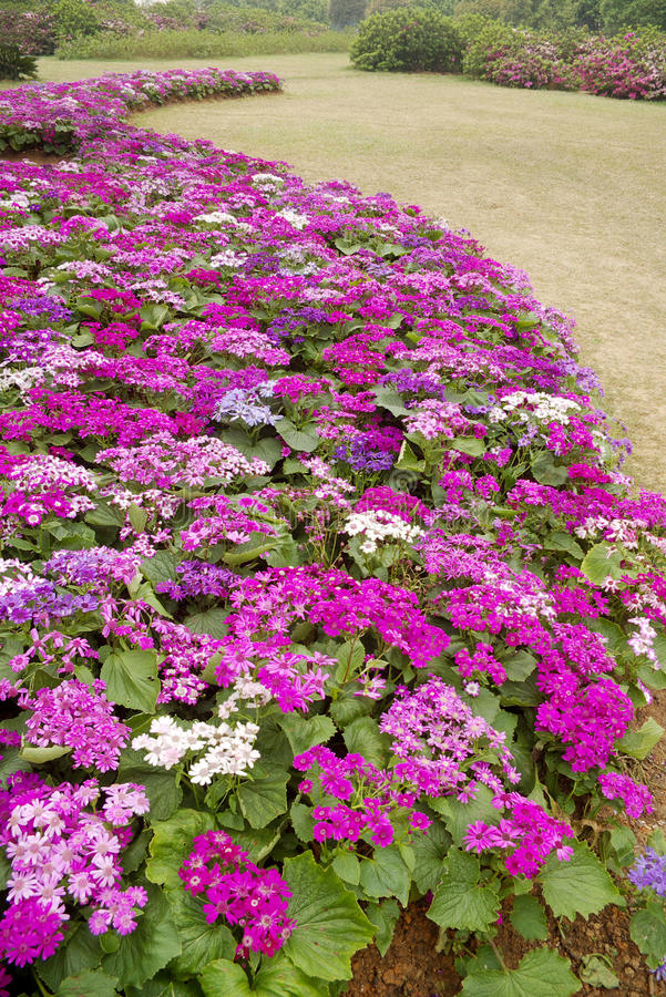 Cineraria. Bent into a piece of cruentia are blooming royalty free stock photos