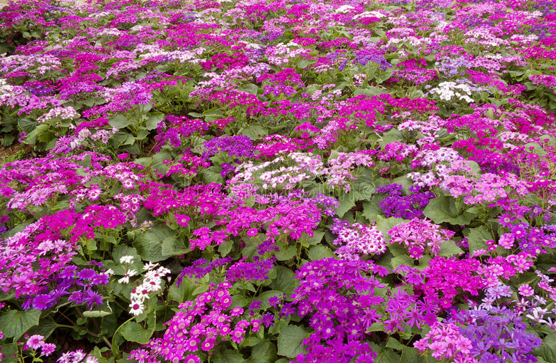 Cineraria. Montreal's colorful cruentia form a big circle royalty free stock photography