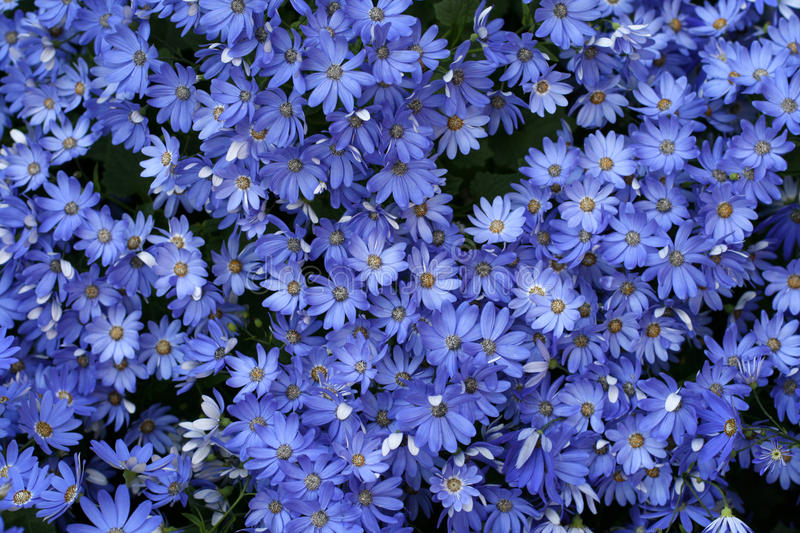 Cineraria. Flowers in a garden royalty free stock photography