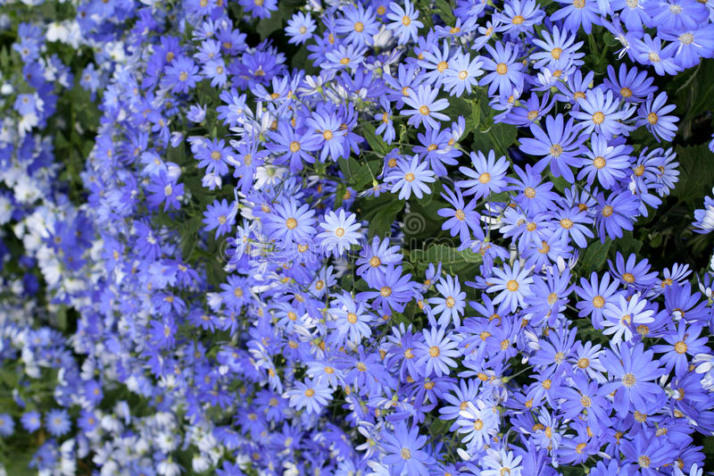 Download Cineraria stock image. Image of aster, blue, patch, bunch - 20067609