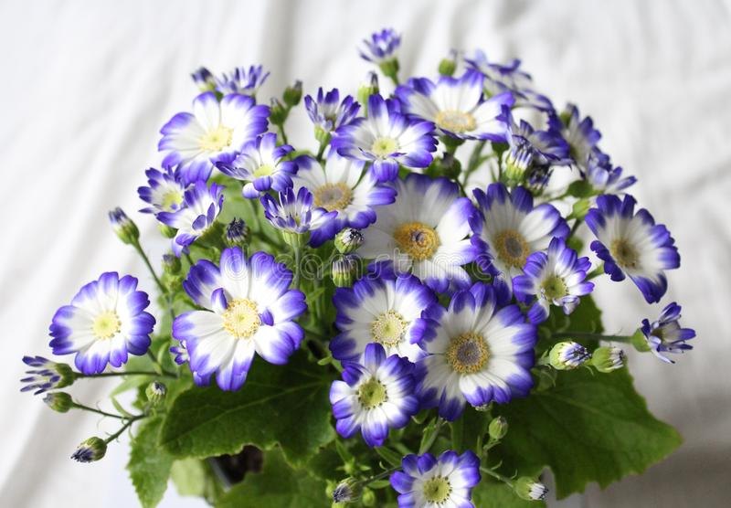 Cineraria. A beautiful cineraria with white and blue colors stock photography