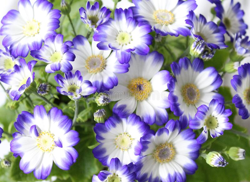 Cineraria. A beautiful cineraria with white and blue colors royalty free stock photos