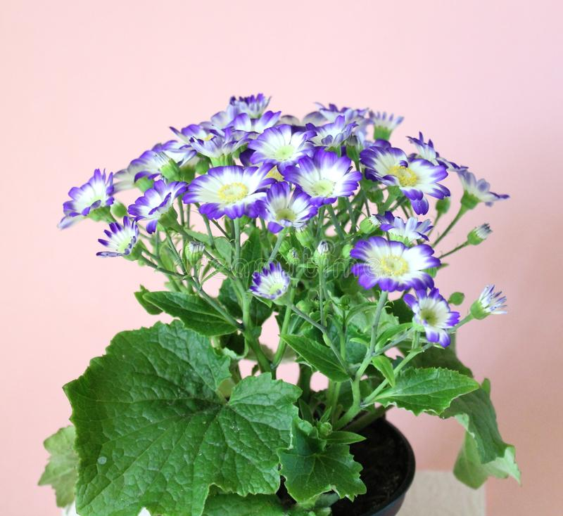 Cineraria. A beautiful cineraria with white and blue colors stock images