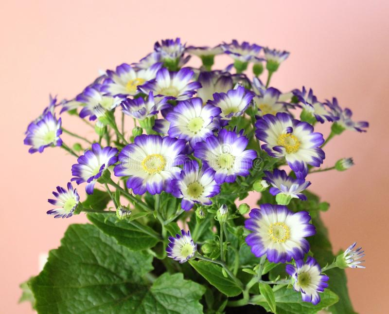 Cineraria. A beautiful cineraria with white and blue colors royalty free stock image