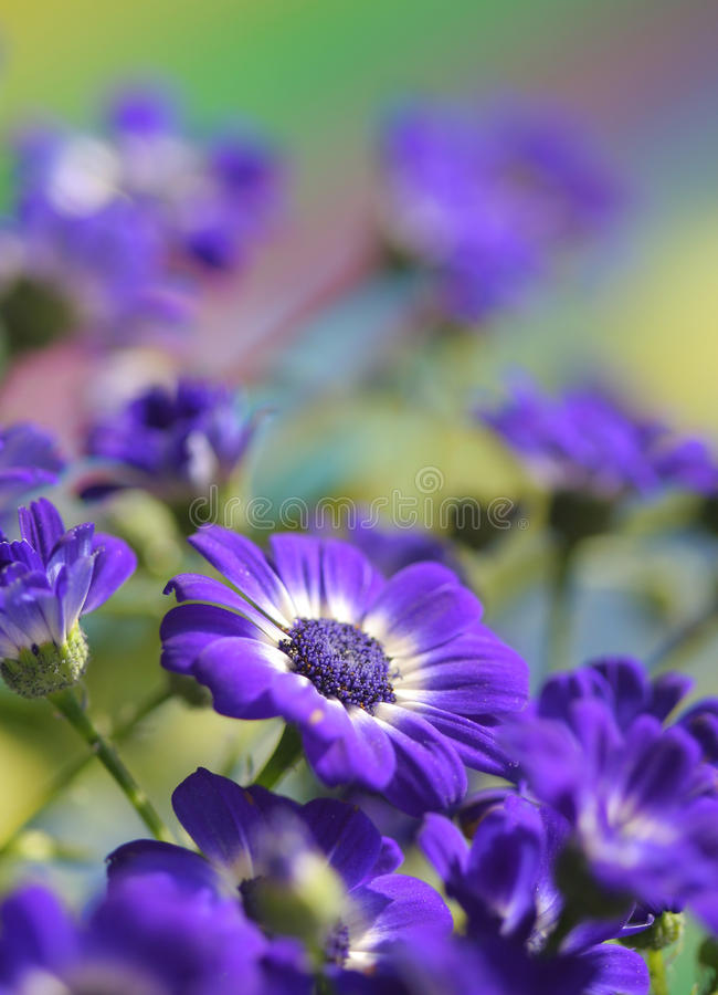Cineraria blooms. Close up of spring Cineraria royalty free stock image