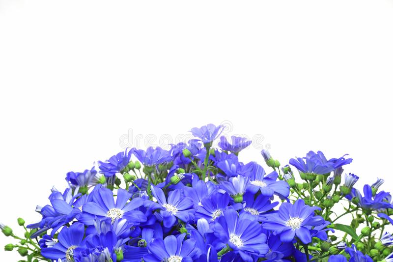 Cineraria fills in a whole screen. Pictured cineraria fills in a whole screen royalty free stock image