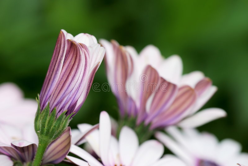 Cineraria flower bud. Shallow focus on pale pink Cineraria flower bud royalty free stock photo