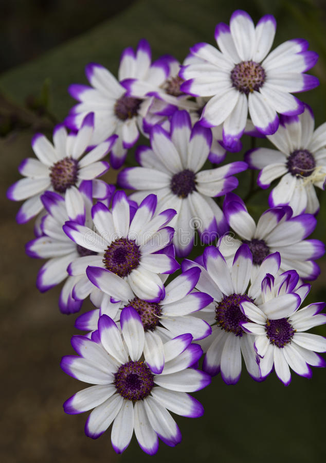 Cineraria flower. Closeup shot of purple white Cineraria flower bunch royalty free stock photos