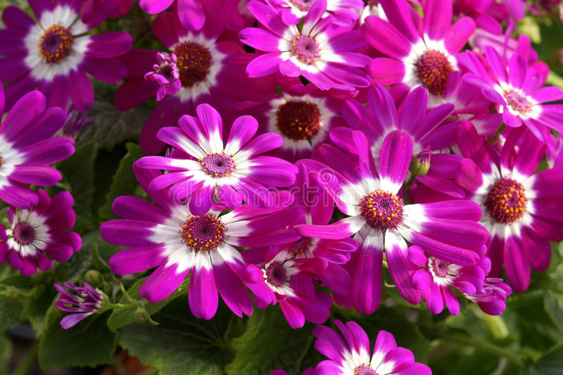 Cineraria flowers. The bunch of pink Cineraria flowers. Scientific name: Pericallis hybrida royalty free stock image