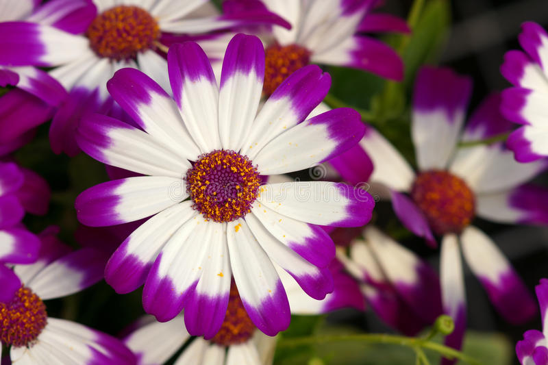 Cineraria flowers. The close-up of white cineraria flowers with purple edge. Scientific name: Pericallis hybrida royalty free stock image