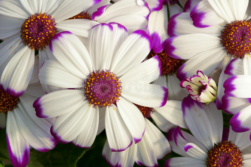 Cineraria flowers. The close-up of white Cineraria flowers with purple edge and pistil. Scientific name: Pericallis hybrida stock photos
