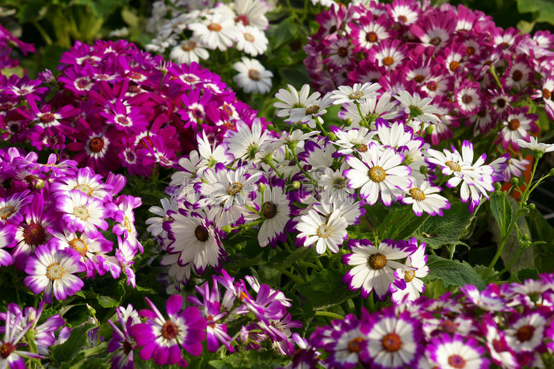 Cineraria flowers. Many multicoloured cineraria flowers. Scientific name: Pericallis hybrida royalty free stock image