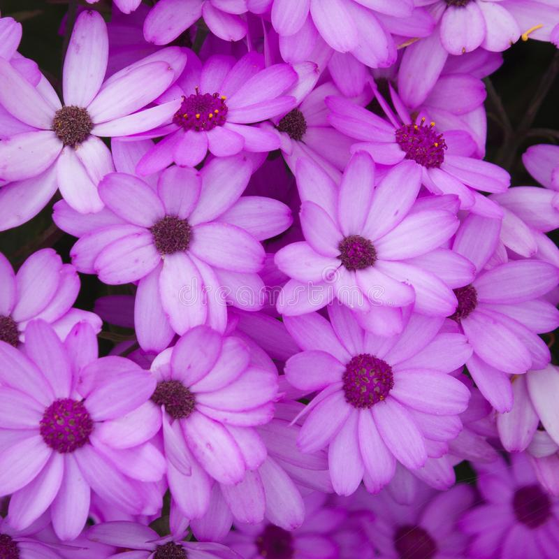 Cineraria flowers. Bright Cineraria flowers growing in spring royalty free stock photography