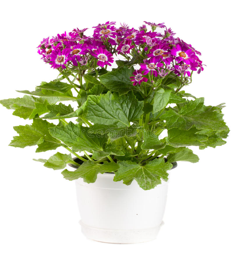 Cineraria flowers in a pot on white background.  stock photos