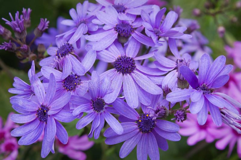Cineraria flowers. Purple Cineraria flowers in a garden royalty free stock photo