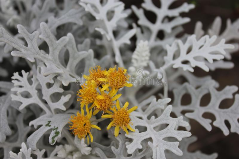 Cineraria with silver lace leaves. Cineraria with silver lace leaves and yellow flowers stock photos