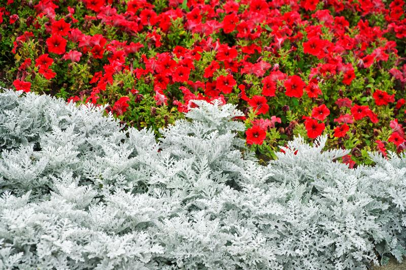 Cineraria silver and red petunia in a street flowerbed. City economy and accomplishment. Decoration of squares and public areas. With flowers. Daylight royalty free stock photo
