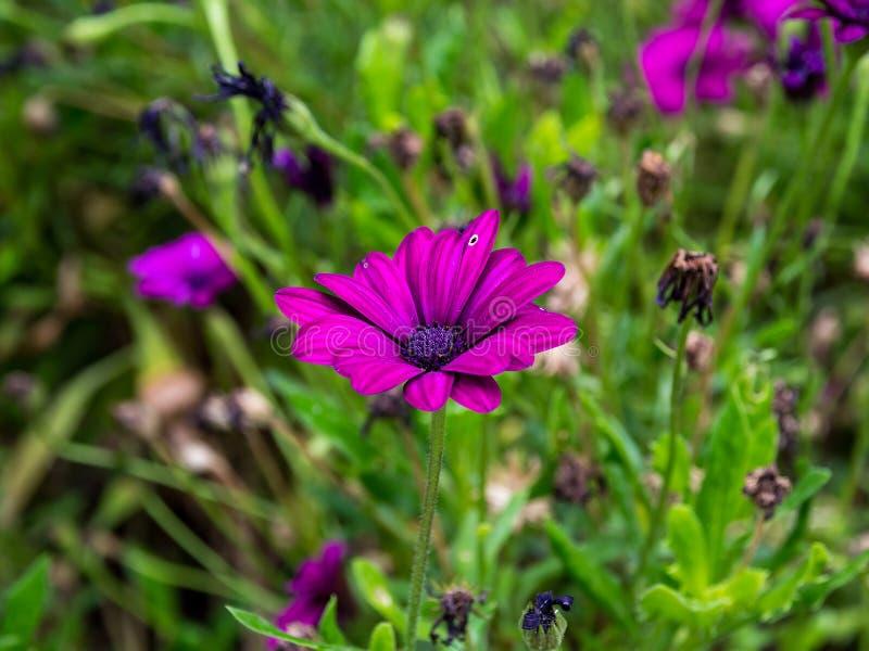 Cinerariabloem violetq stock afbeeldingen