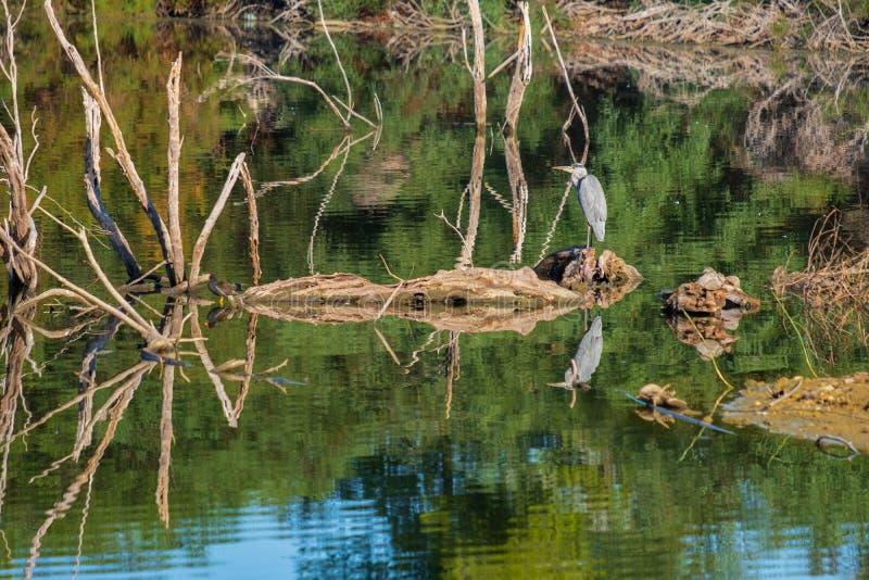 Cinerea för grå färghägerArdea beautifully reflekterat i Athalassa La arkivbild