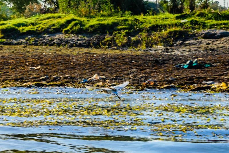 Cinerea fluga för grå färghägerArdea över Nilet River arkivbilder
