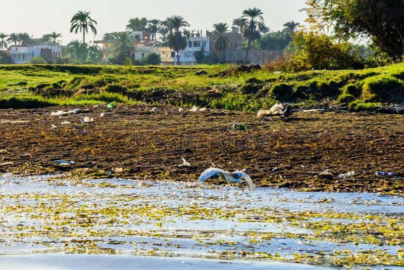 Cinerea fluga för grå färghägerArdea över Nilet River royaltyfri bild