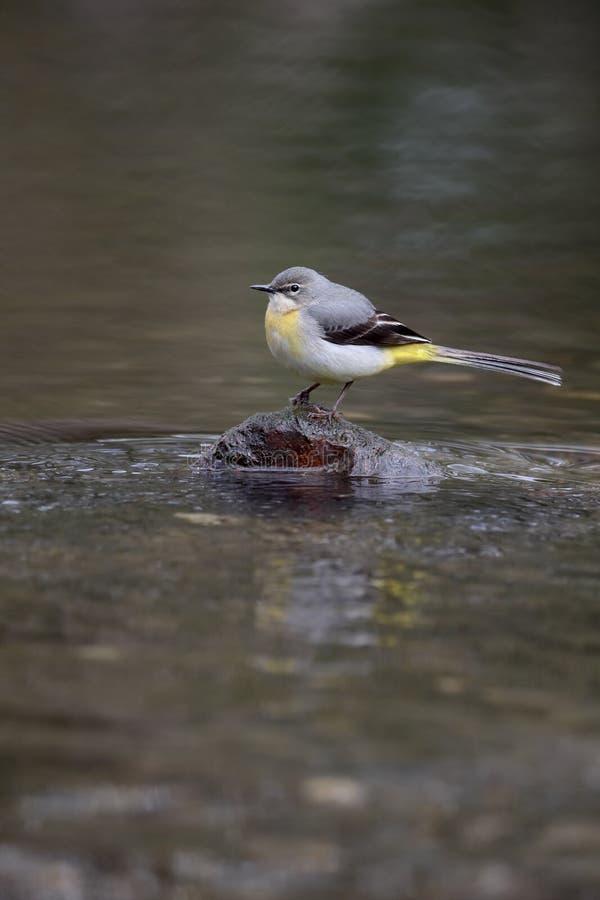 cinerea grå motacillawagtail fotografering för bildbyråer
