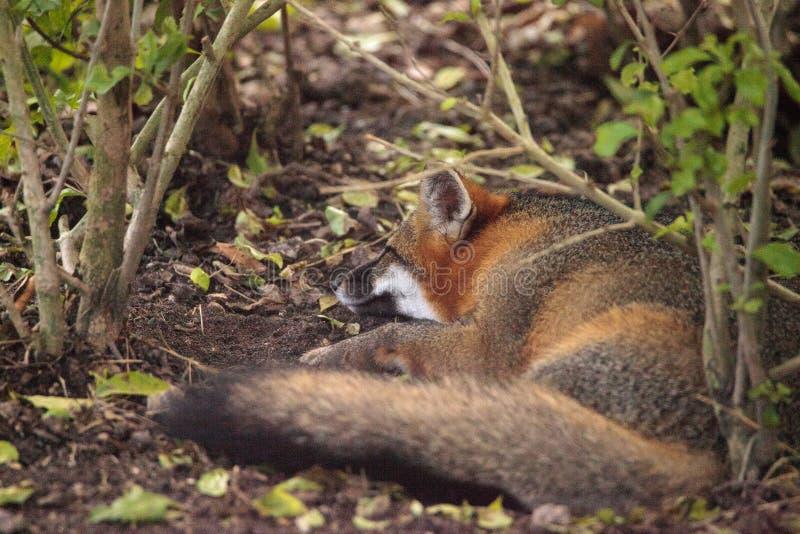 Cinereoargenteus d'Urocyon de renard de gris photo libre de droits