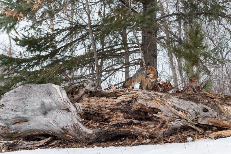 Cinereoargenteus de Grey Fox Urocyon placé sur l'hiver de rondin image stock