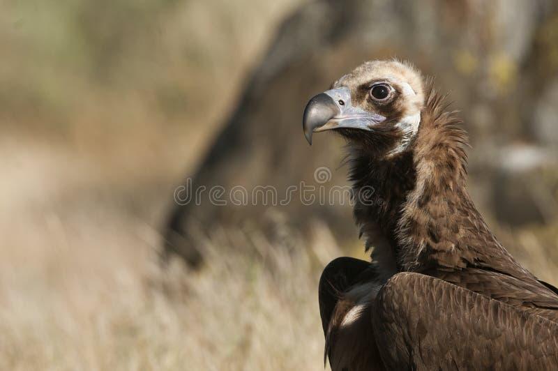 Cinereous Eurasian Black Vulture Aegypius monachus,  Portrait of Vulture royalty free stock image