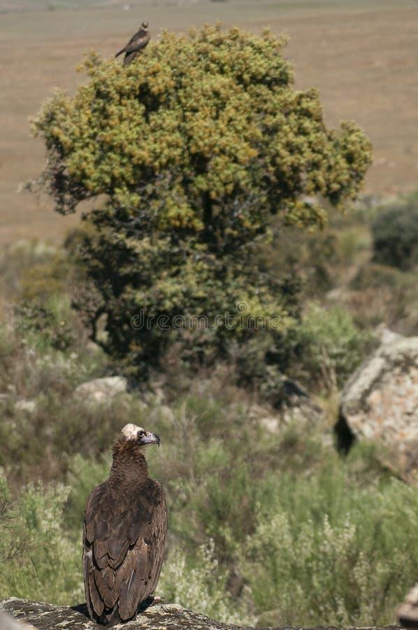 Cinereous Eurasian Black Vulture Aegypius monachus Black Kite, Milvus migrans stock image