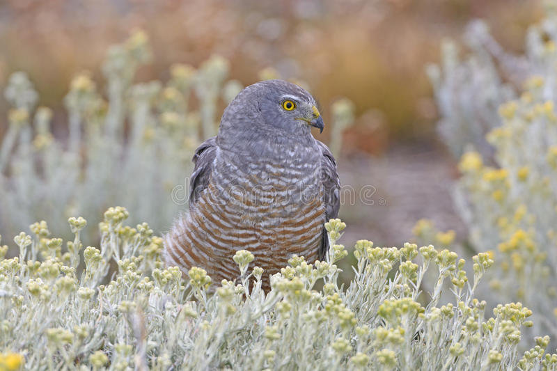 Cinereous Harrier Resting stock photography