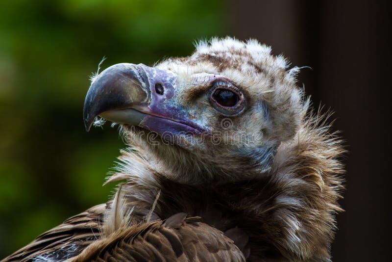 Cinereous vulture or Eurasian black vulture, Aegypius monachus royalty free stock photo