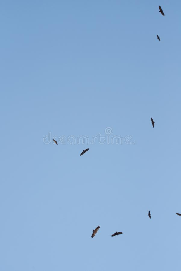Cinereous vulture. A flock of birds flying in the air and looking out for prey. royalty free stock photos