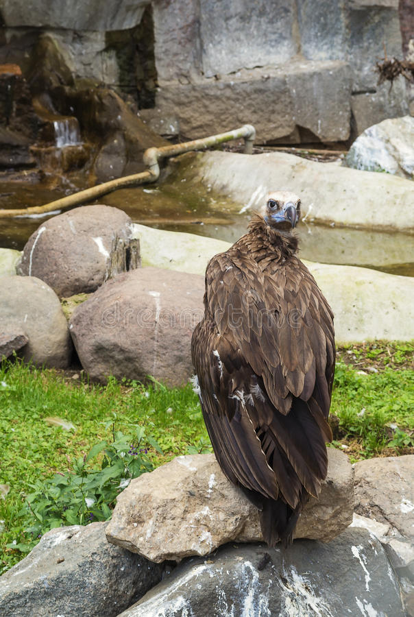 Cinereous Vulture. In Moscow zoo in summer stock photography