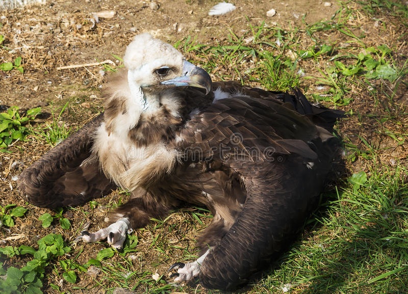 Cinereous Vulture. In Moscow zoo in summer royalty free stock image